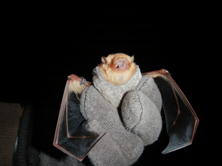 Threatened Bat Population Discovered at Nazareth