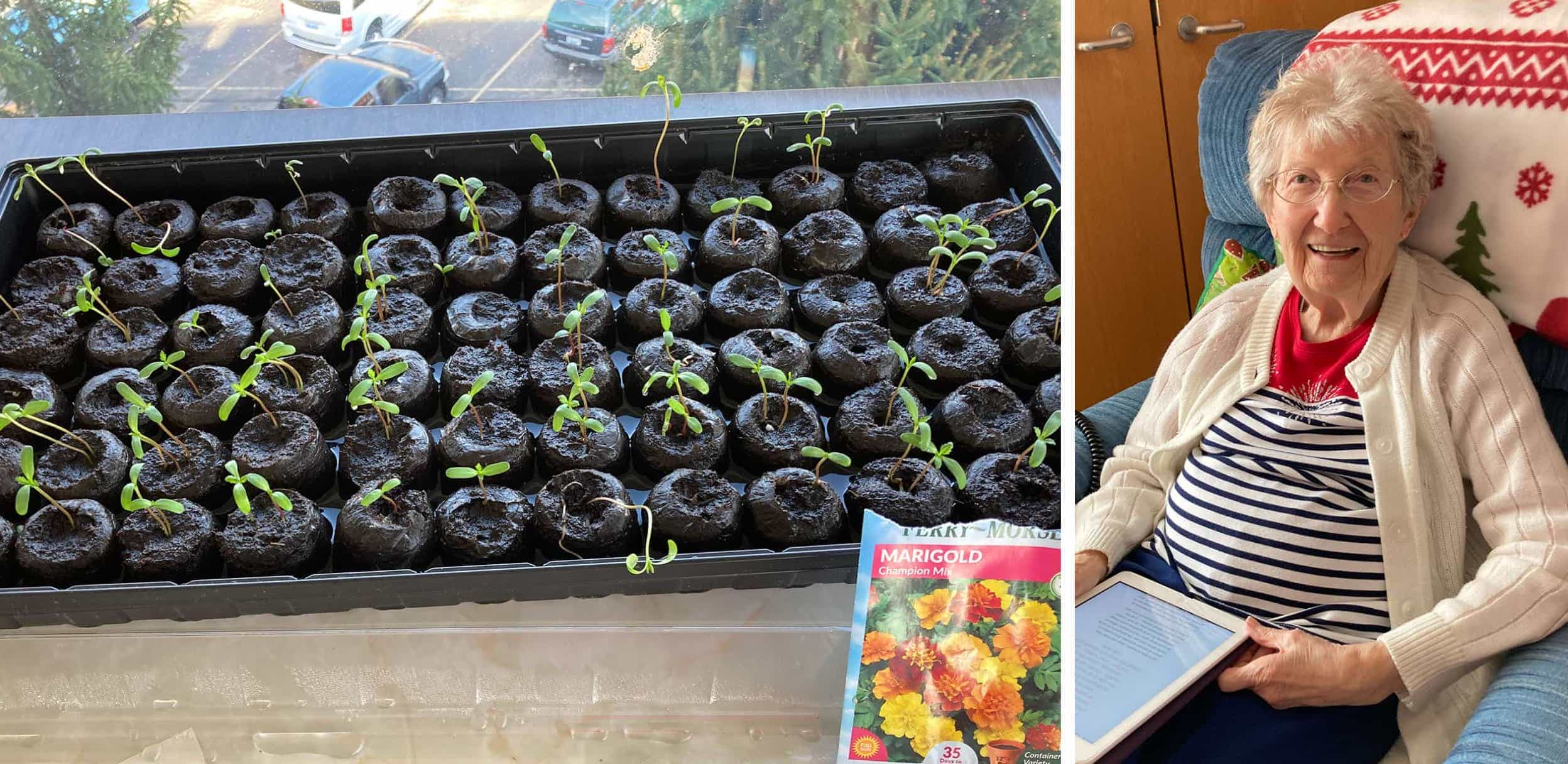 Marigolds sprouting