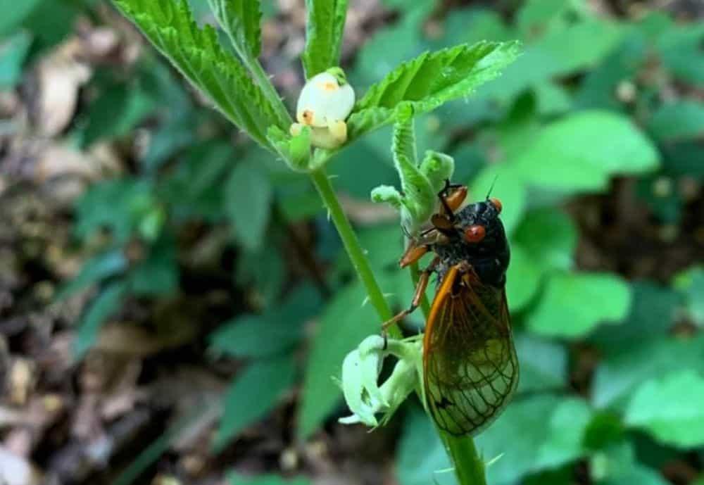 Cicada spotting at Nazareth